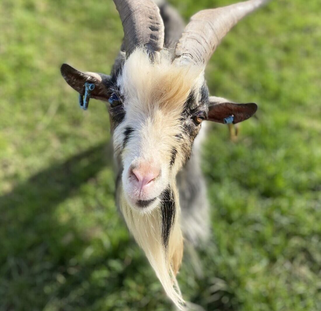 Goat at Roundshill Farm